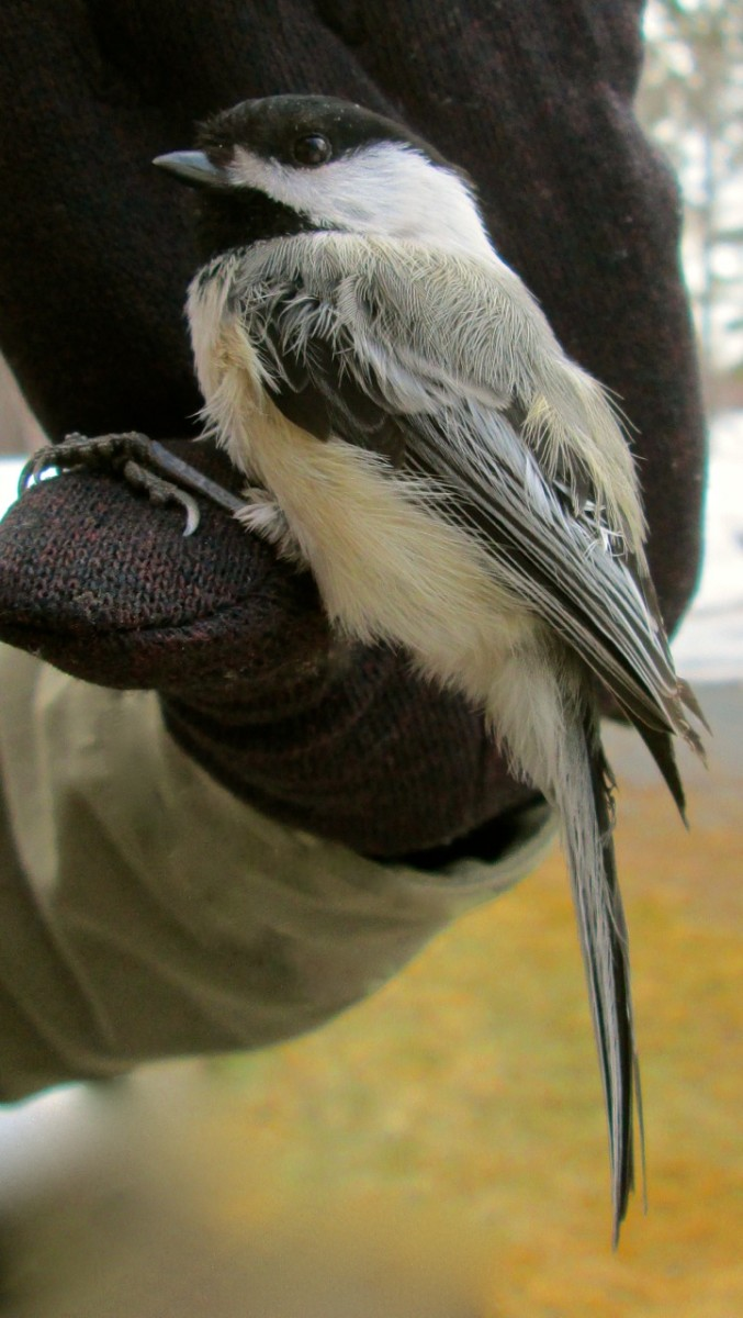 Chickadee in gloved hand.