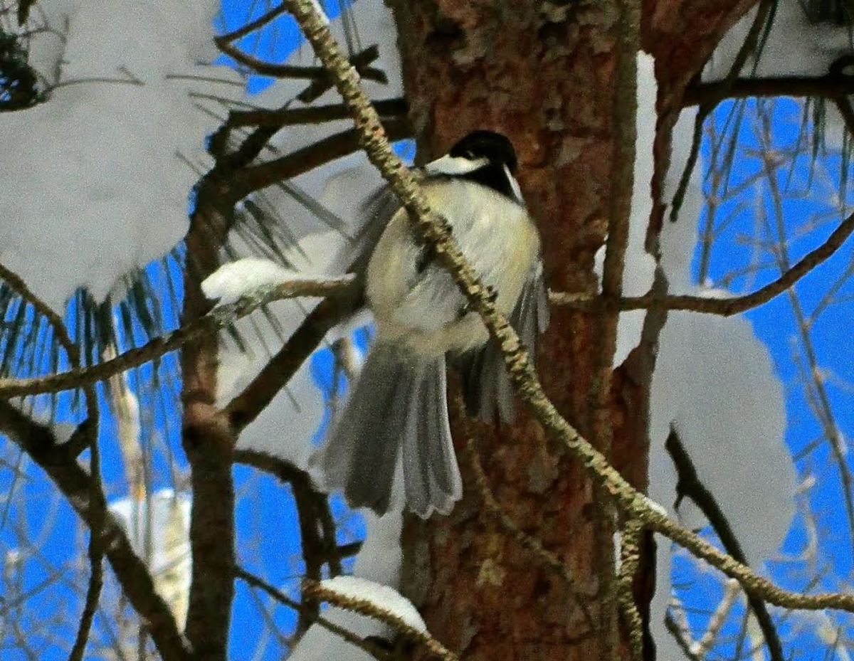 Chickadee in a tree.