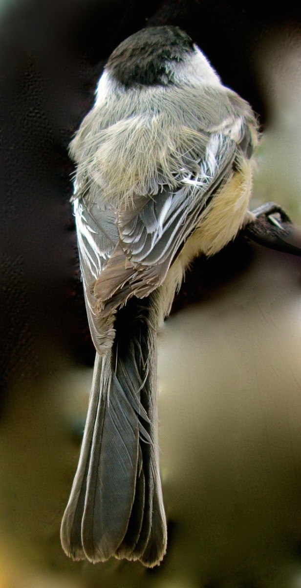 Backside View of My Little Chickadee