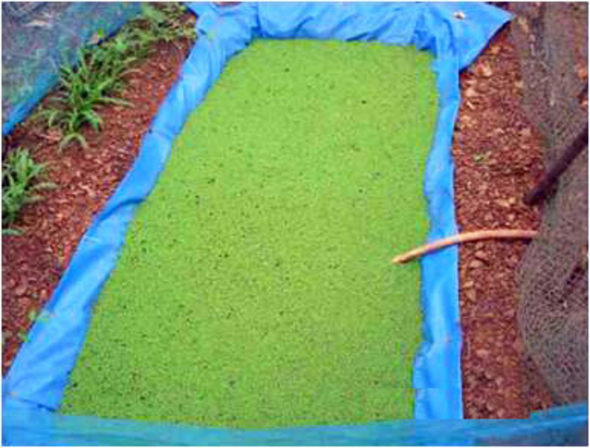 Azolla Farm bed Preparation