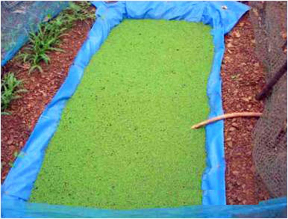 Azolla Farm bed Preparation