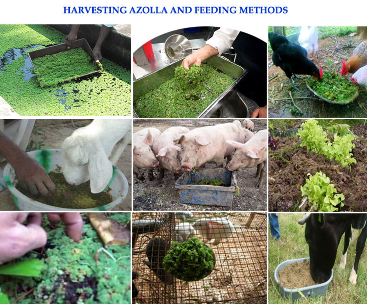 Harvesting Azolla and Feeding Methods