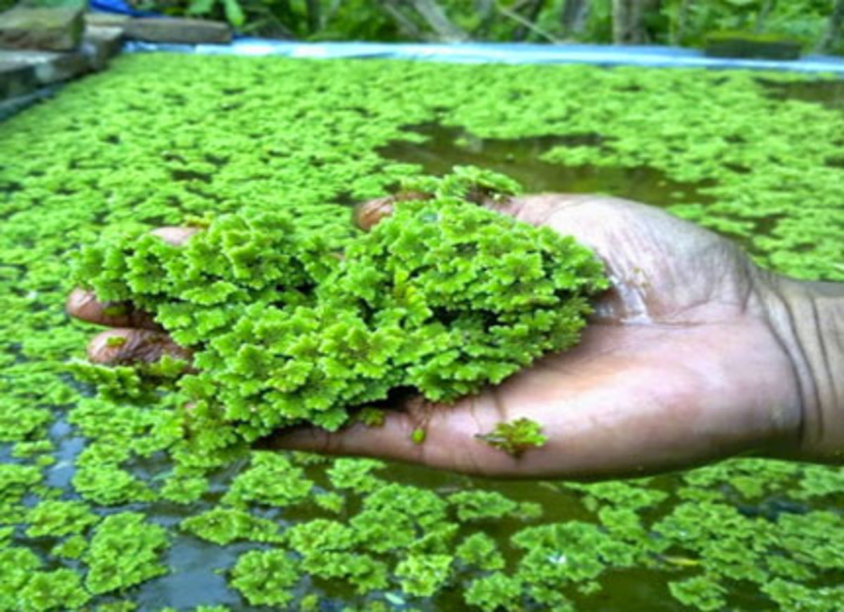 Azolla: A Fresh Look