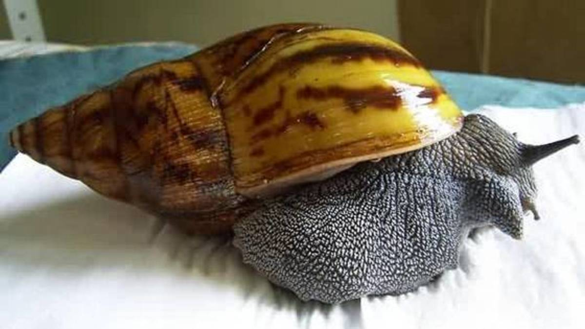 Giant snail pet - photo#17