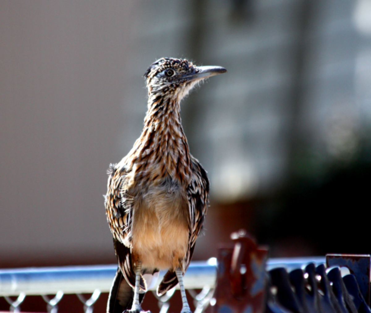 Greater Roadrunner perched on a fence.