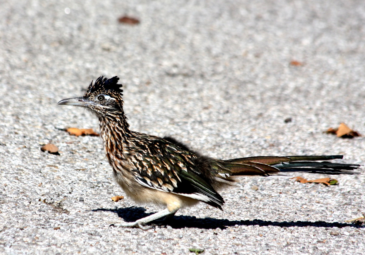 The greater roadrunner, standing in the road.