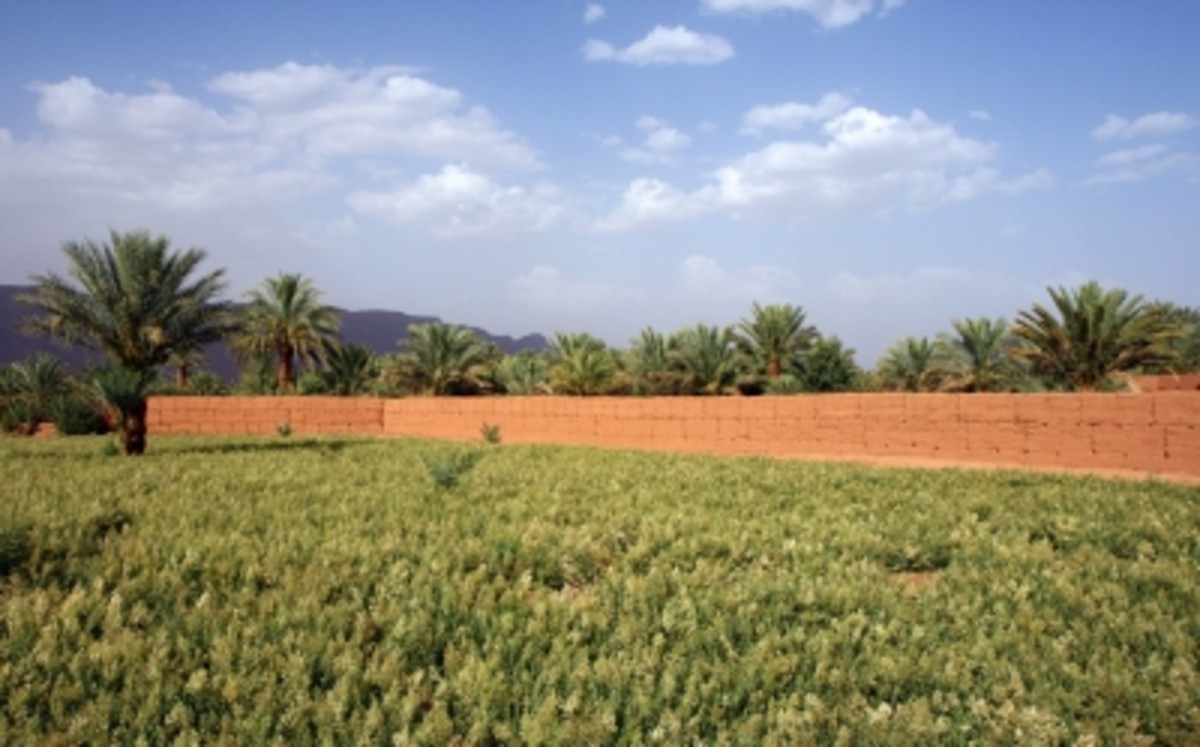Henna Field in Morocco