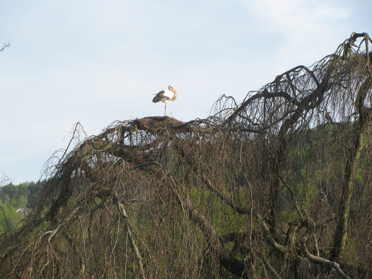 One of three nests in the trees outside the hotel