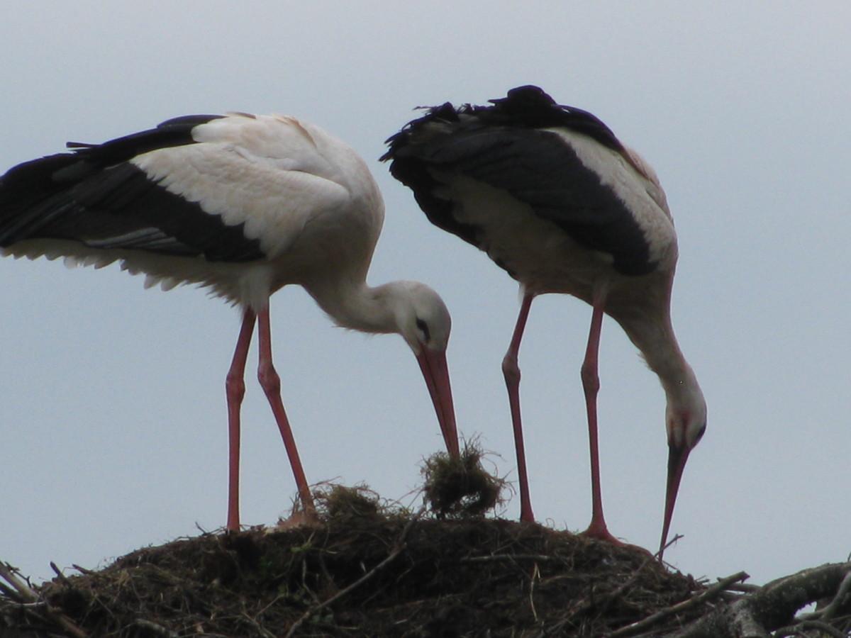 France - the Storks of Alsace