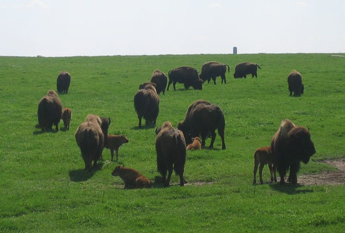 Buffalo Jumping by Native Nations and Euro-American Settlers