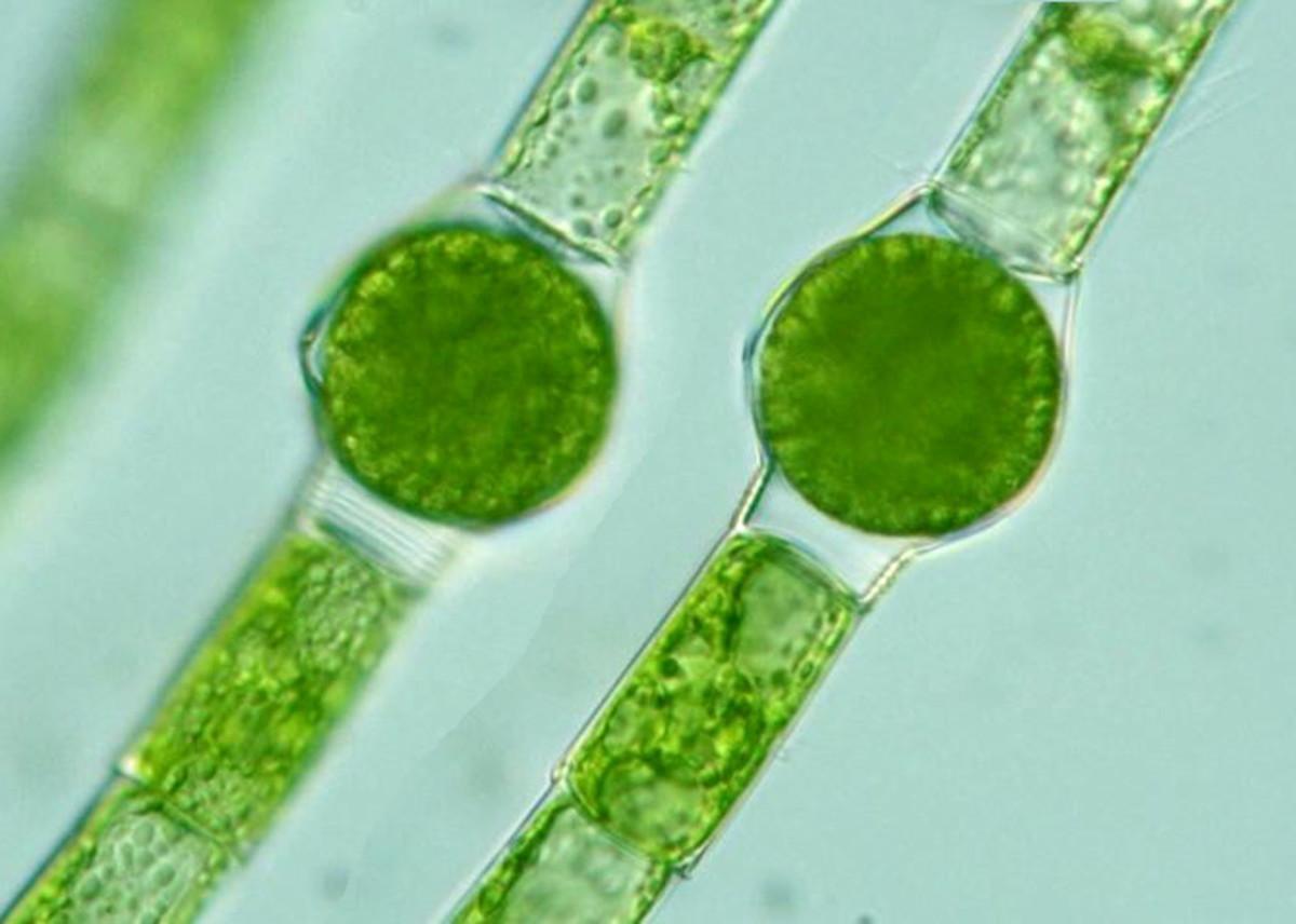 Oedogonium sp.