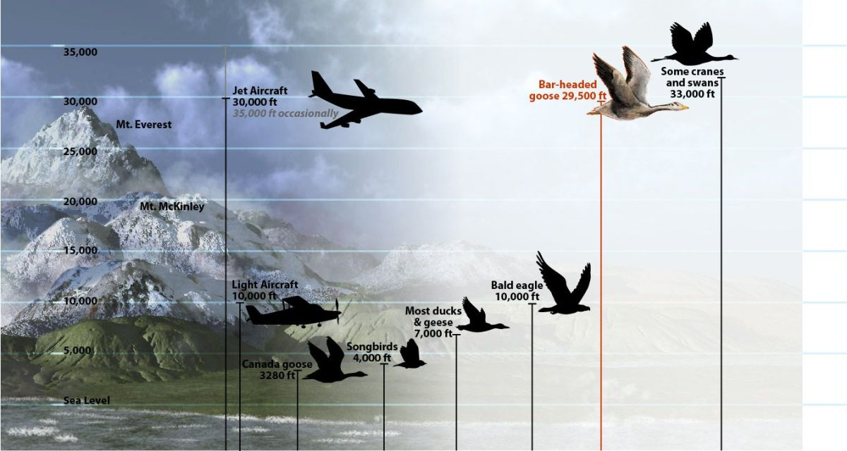 Most airliners fly around 33,000 feet. Geese, swans and cranes are able to fly at the same height.
