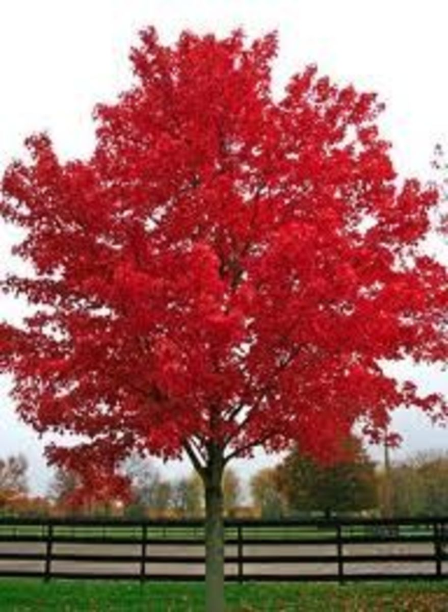 Trees With Red Leaves in the Fall