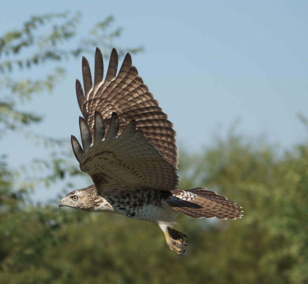 Birding the Oklahoma Skies for Hawks