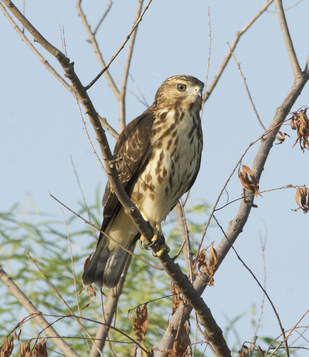 1st Summer Broad-winged Hawk at the end of August