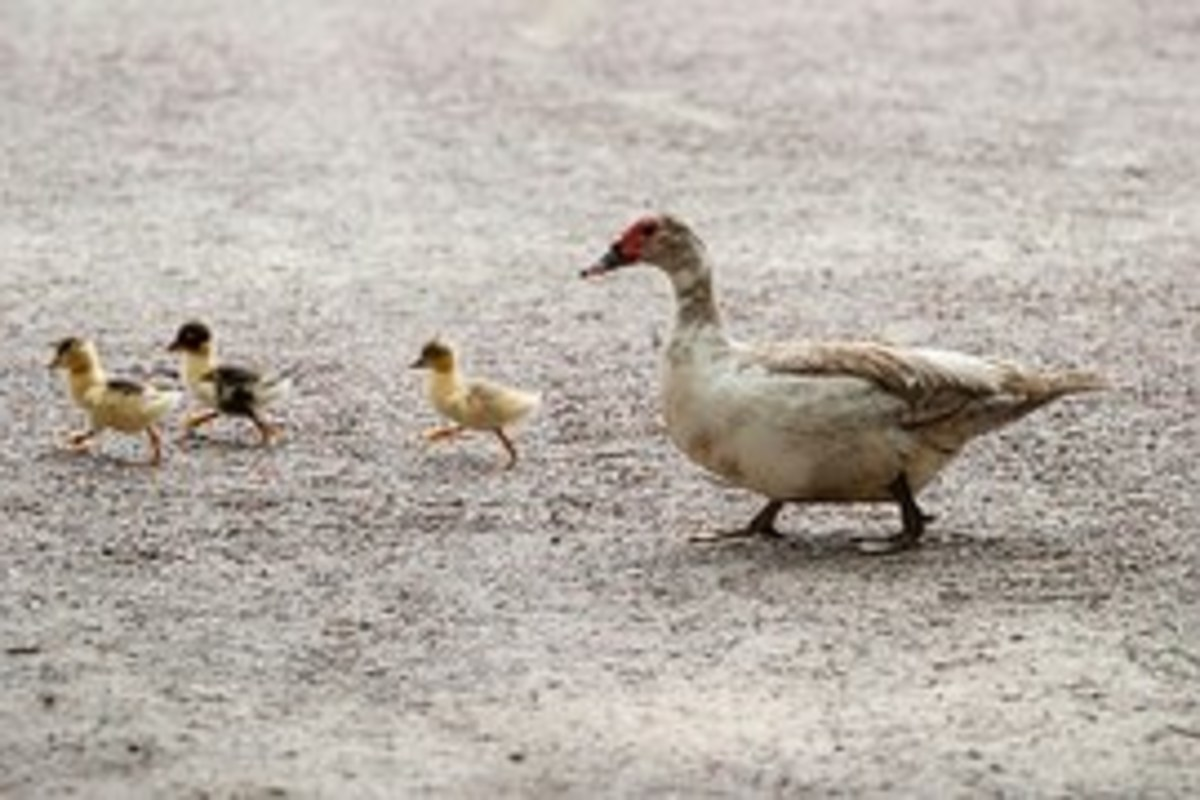 """Honorary Citizen"" Ducks in Middlesboro"