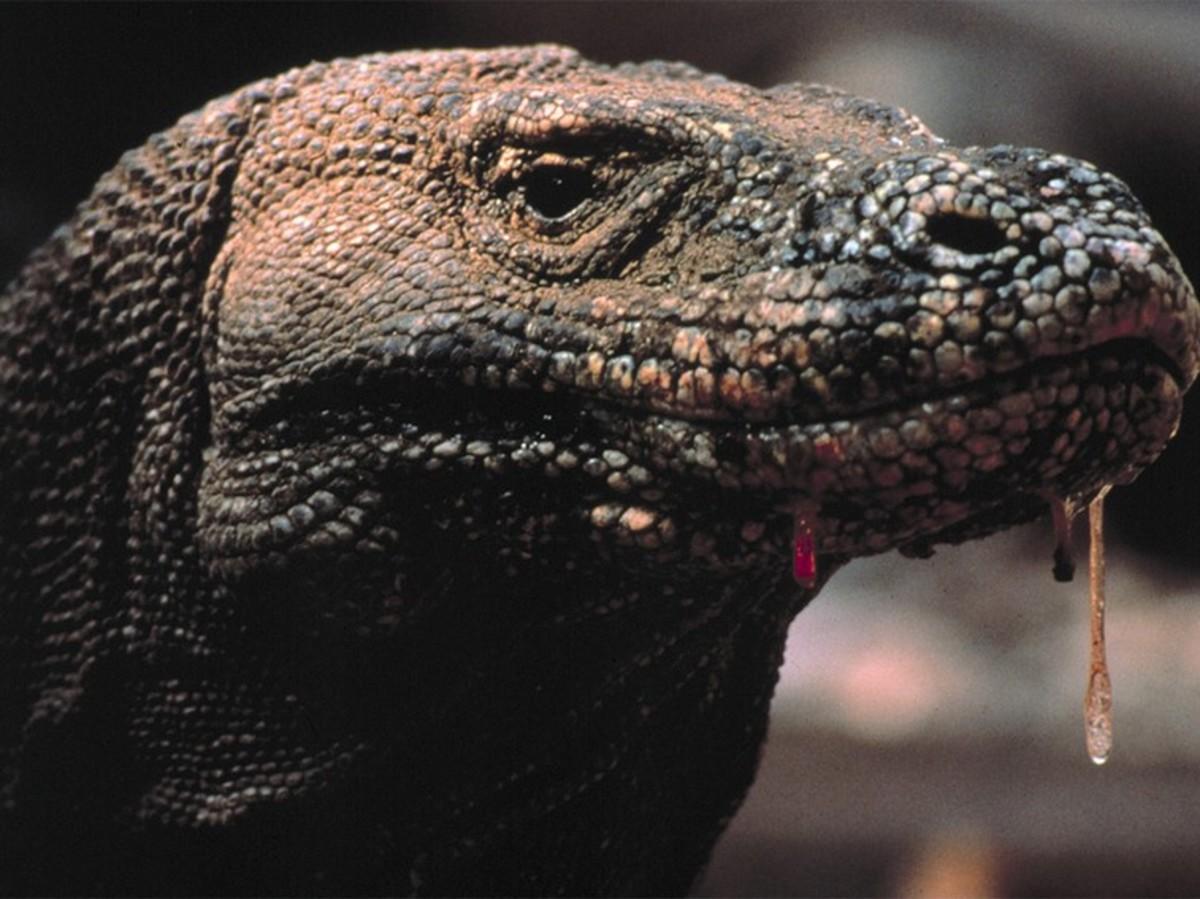 Poisonous Comodo Dragon-saliva dripping-TIME TO EAT!