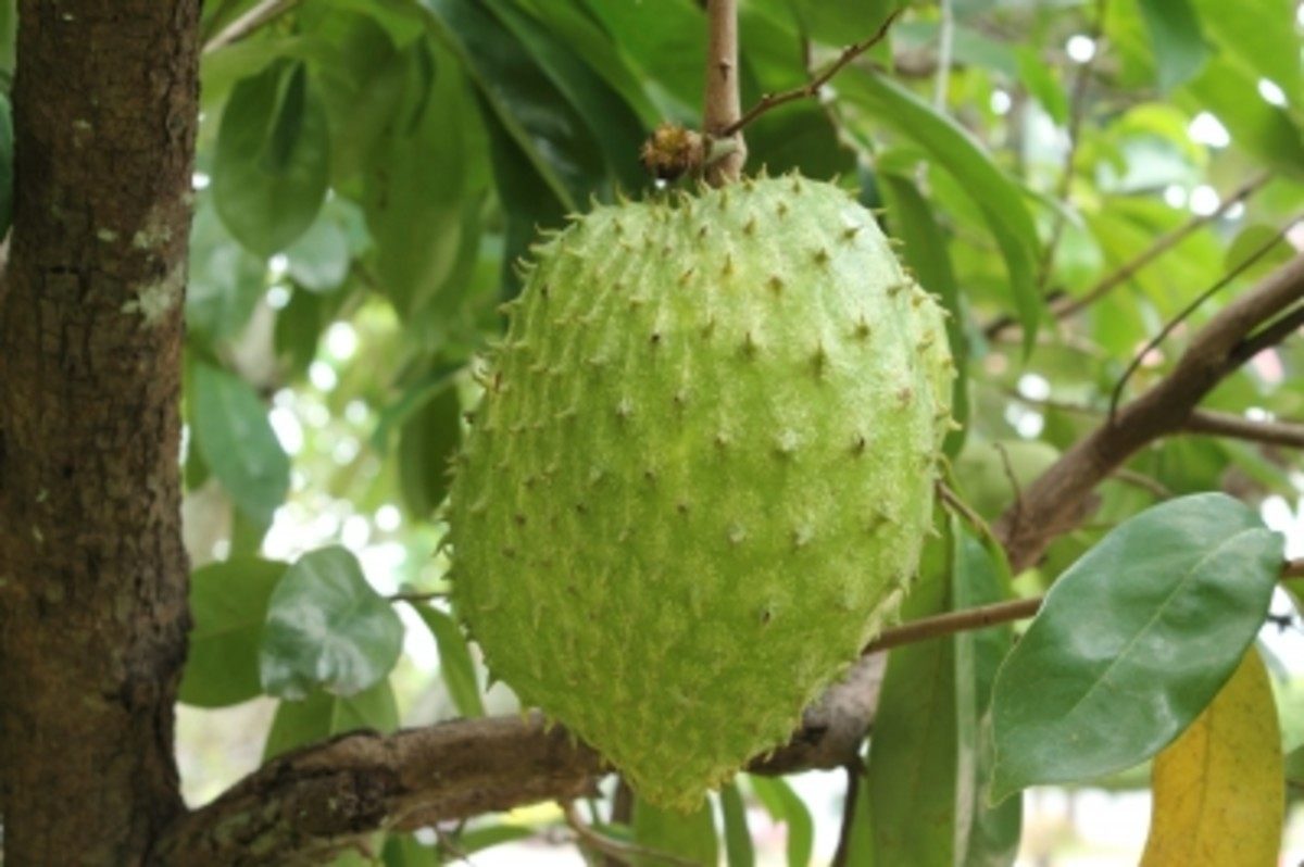 The Soursop and the Jagua:  Two Soft Fruits with Powerful Effects in your Health