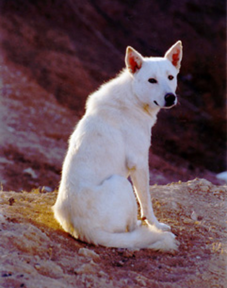The Canaan Dog