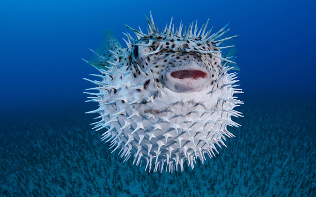 Puffer fish can be harvested to create the poison which renders victims in a death-like state.