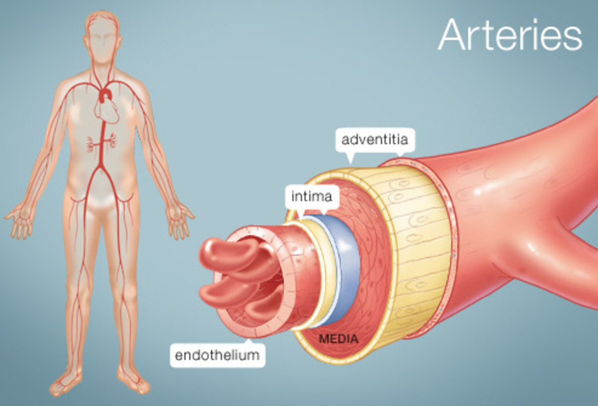 Interesting Facts about Blood Vessels-Arteries, Veins, and Capillaries