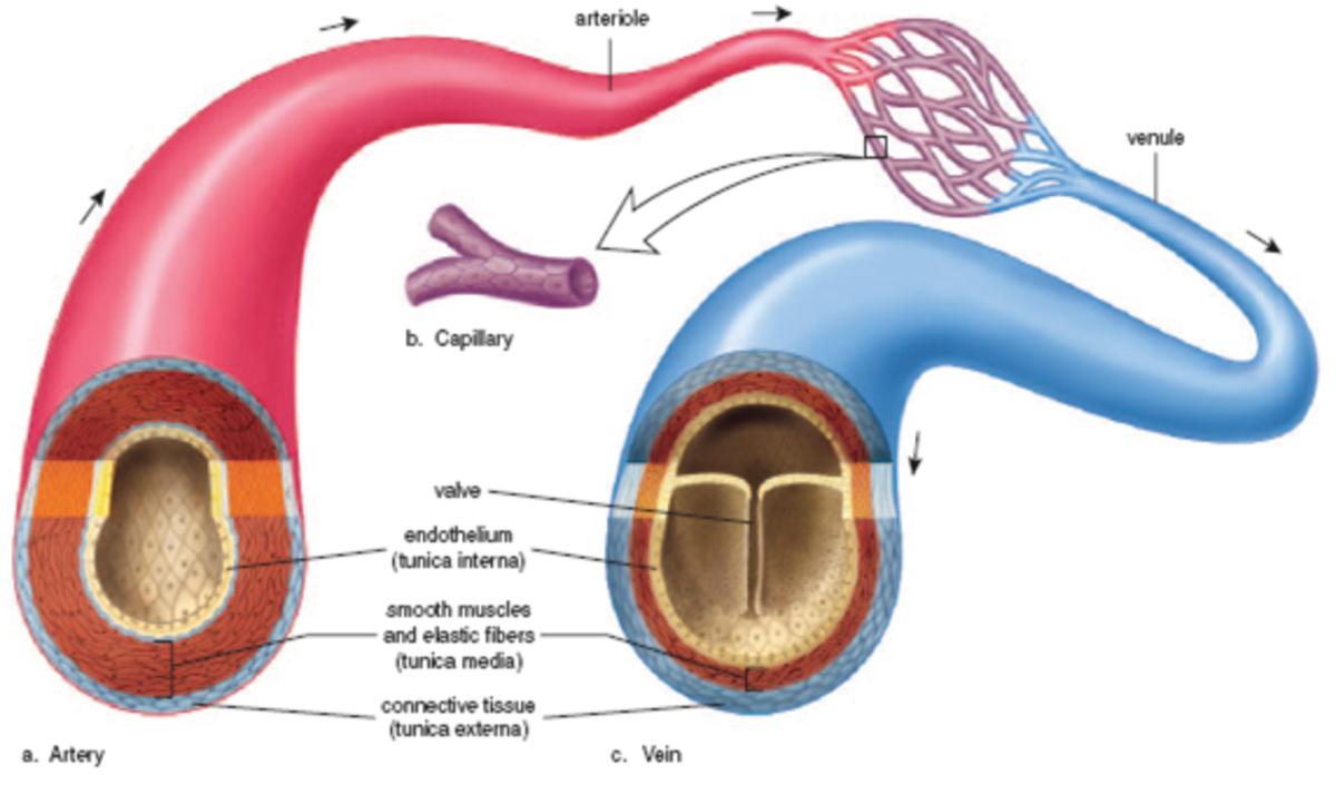 Capillaries form the network between arteries and veins