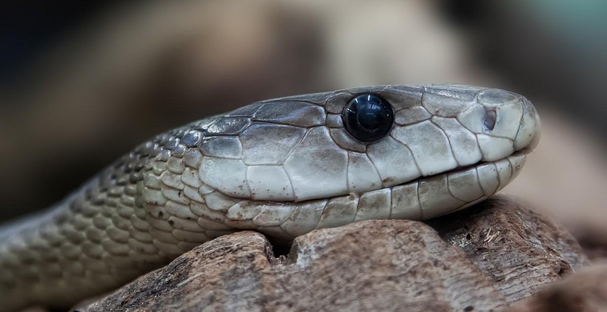 Toxic snakes