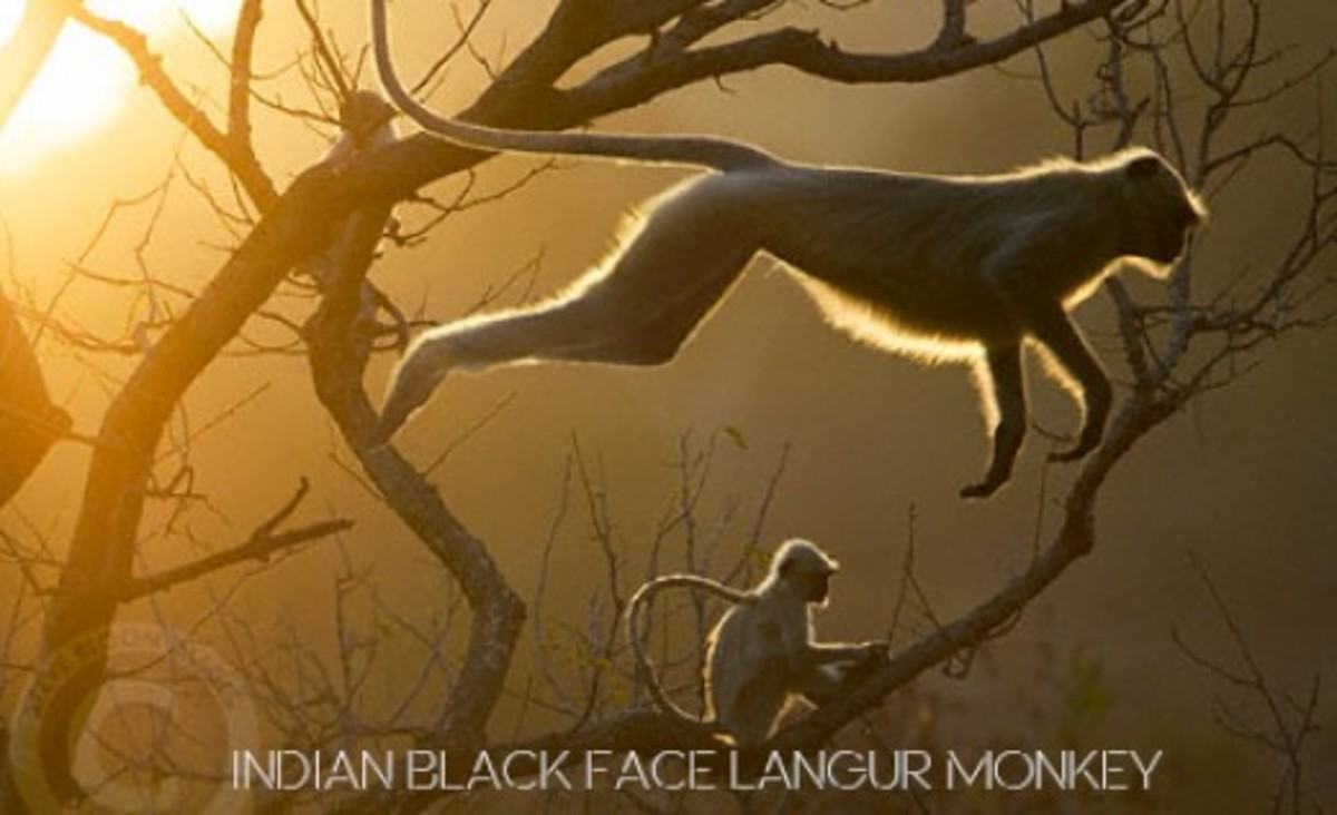 Indian Langur Mnokey