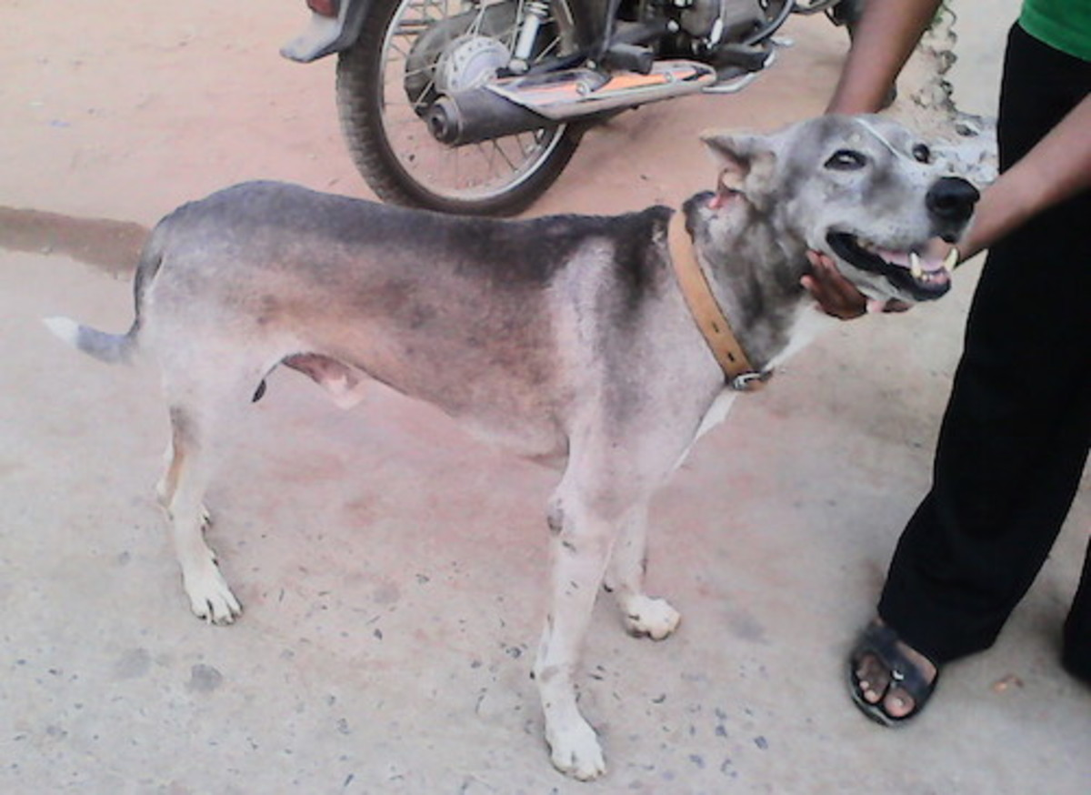 Pariah mixed Wolf like Indian Dog