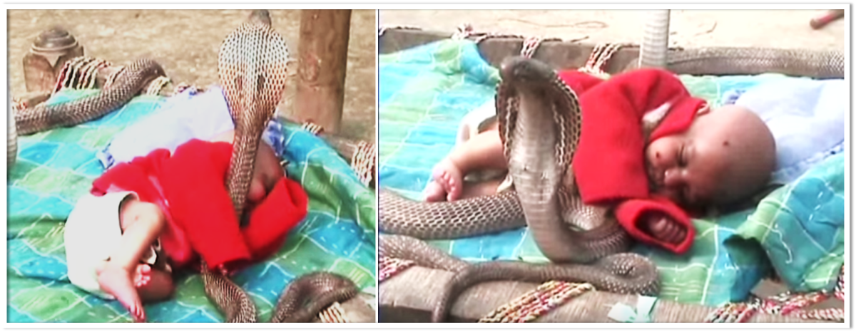 Cobras protecting baby