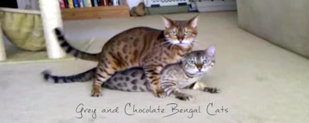 Bengal Cats Plying