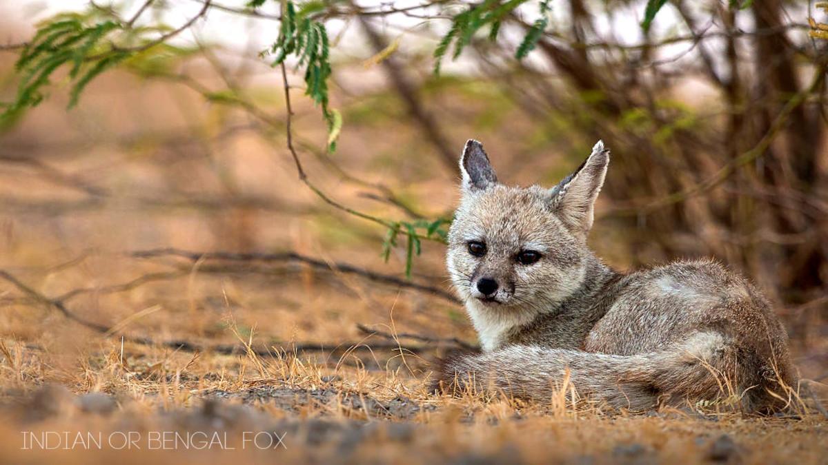Bengal Fox