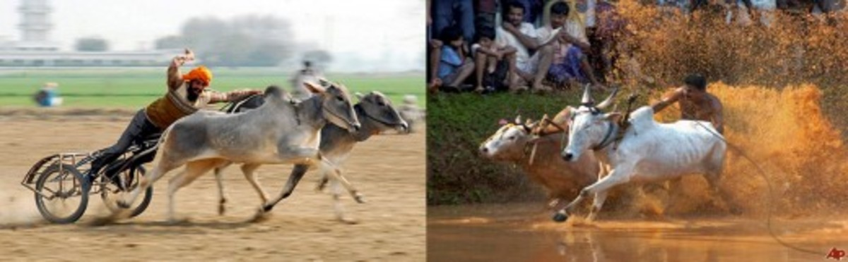 Bull Racing in Indian Villages