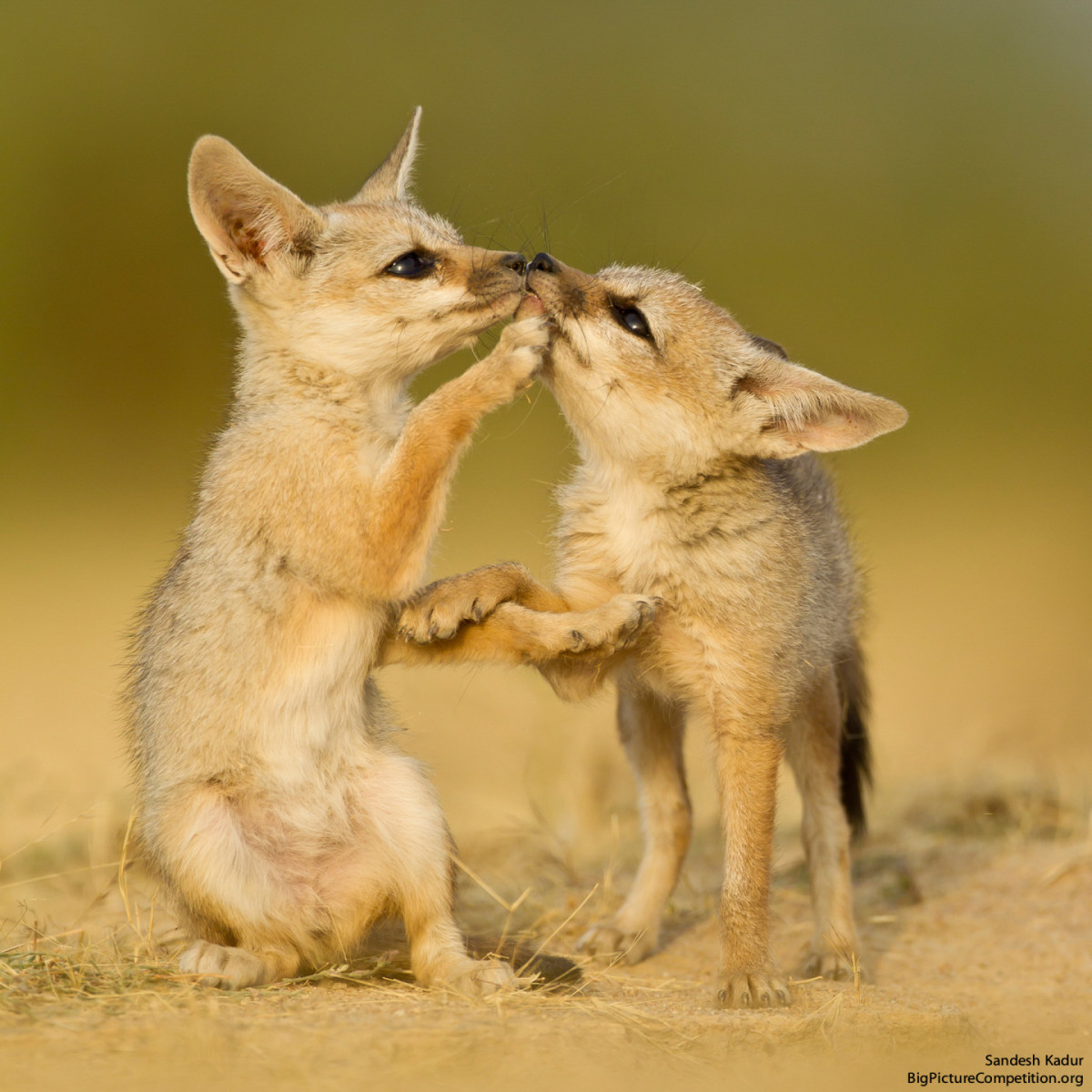 Bengal fox pups