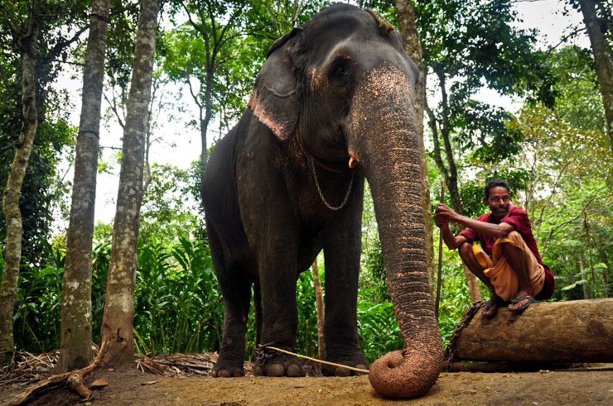 Indian Pet Elephant