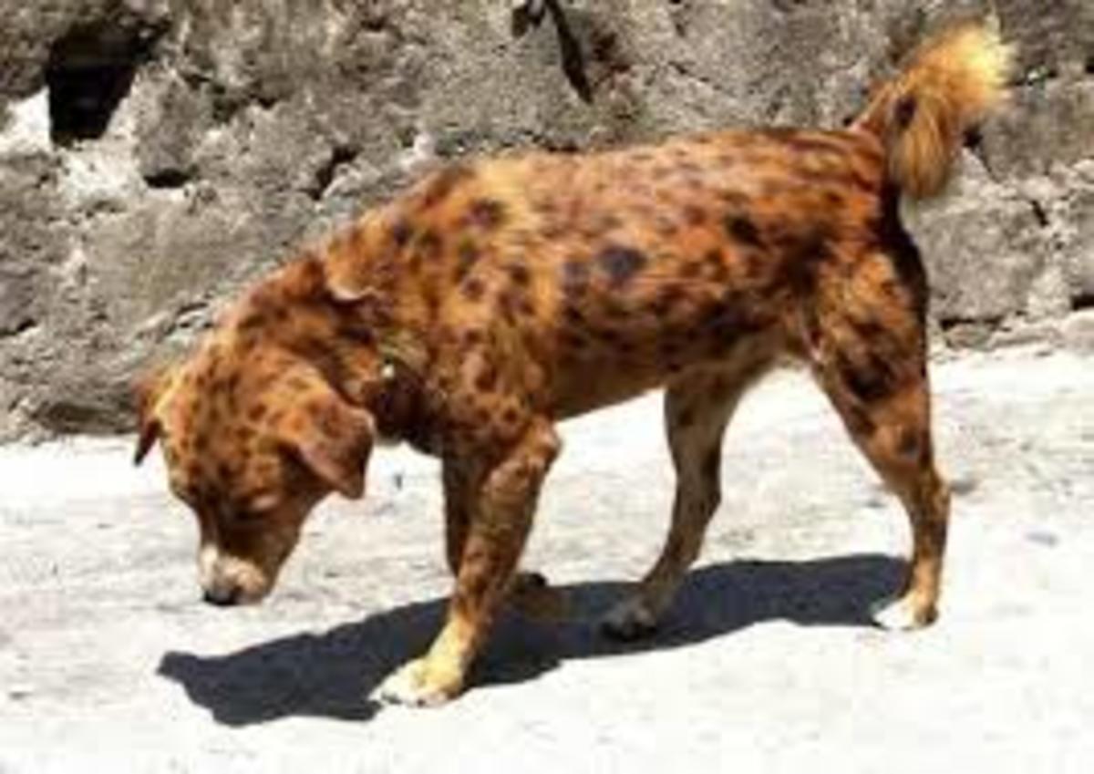 Natural Born Dog, From Indian Nepal Border.