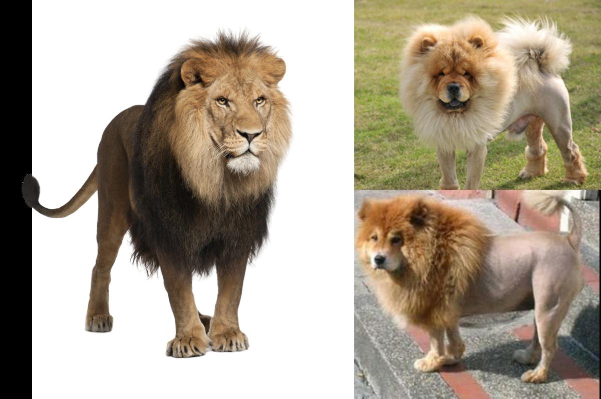 Dogs Like Lion