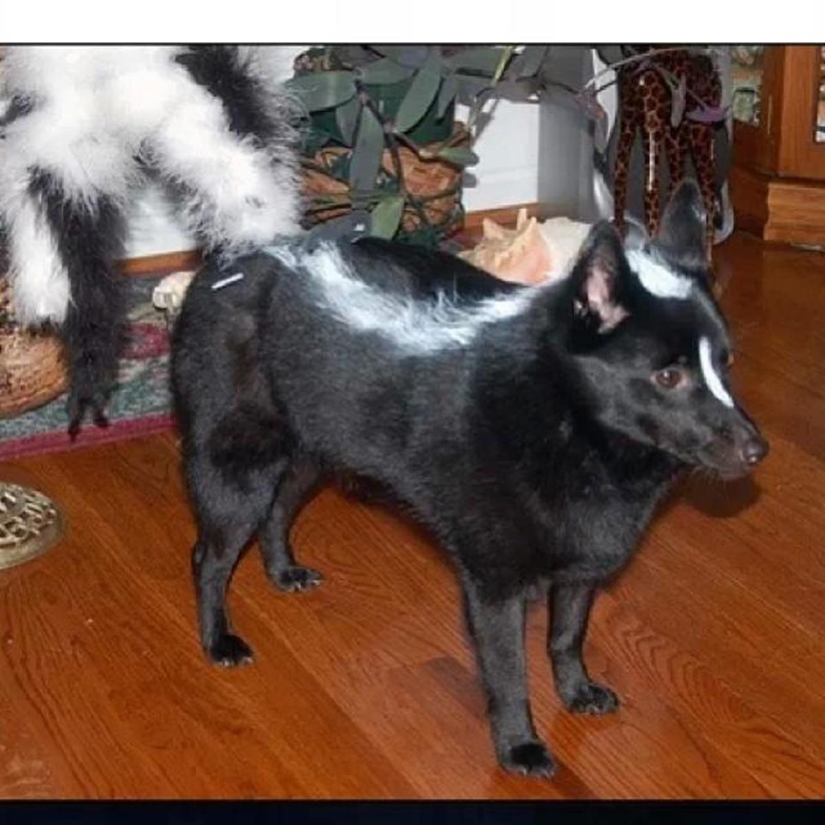 Dog look Like Skunk