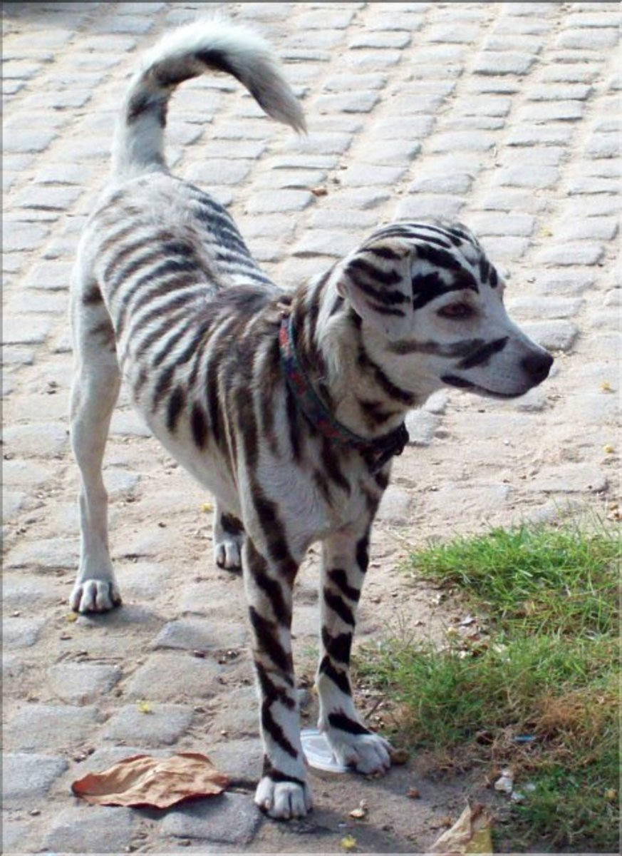 Chinese Crested Dog  Wikipedia