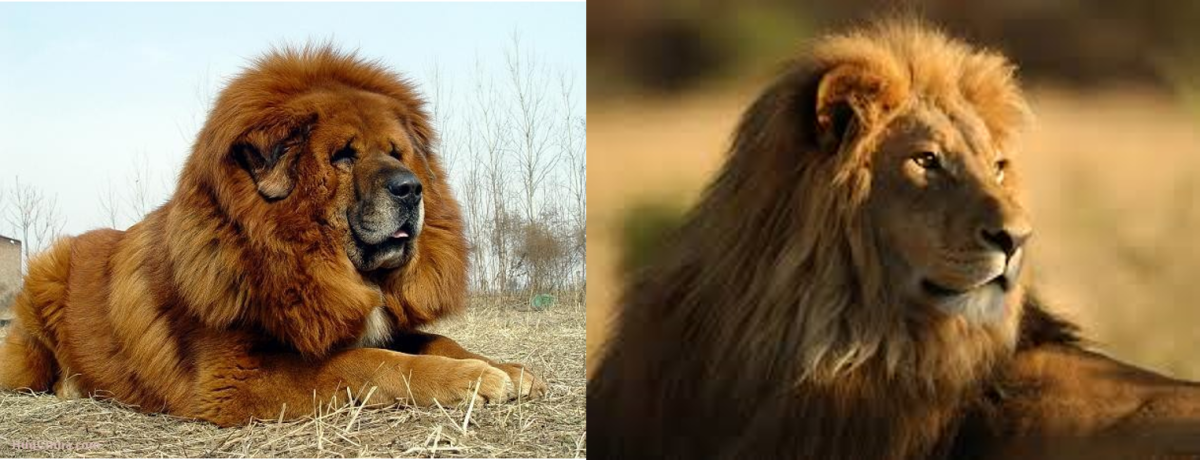 Tibetan Mastiff Dog Like Lion
