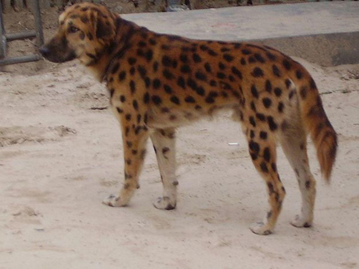 Cheetah Dog