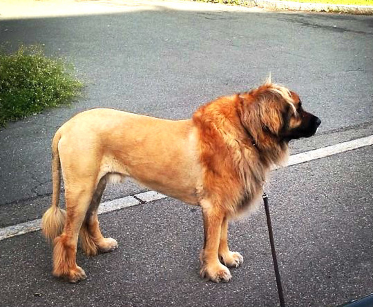 Dog Groomed Like A Lion