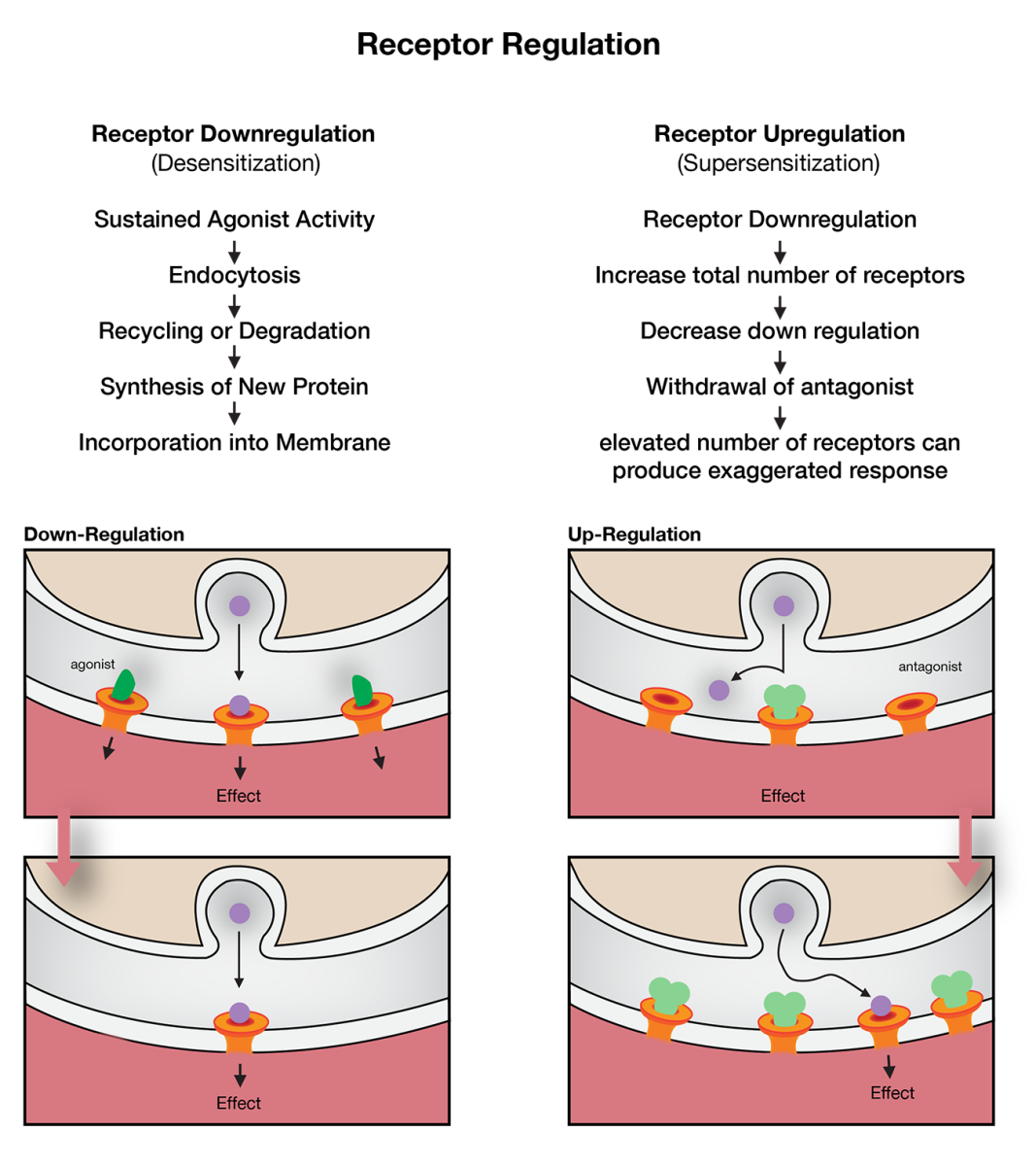 Receptor up and down regulation