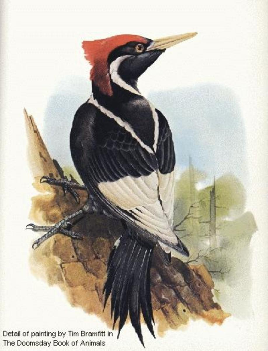 Ghost Hunting, Ivory-billed Woodpeckers