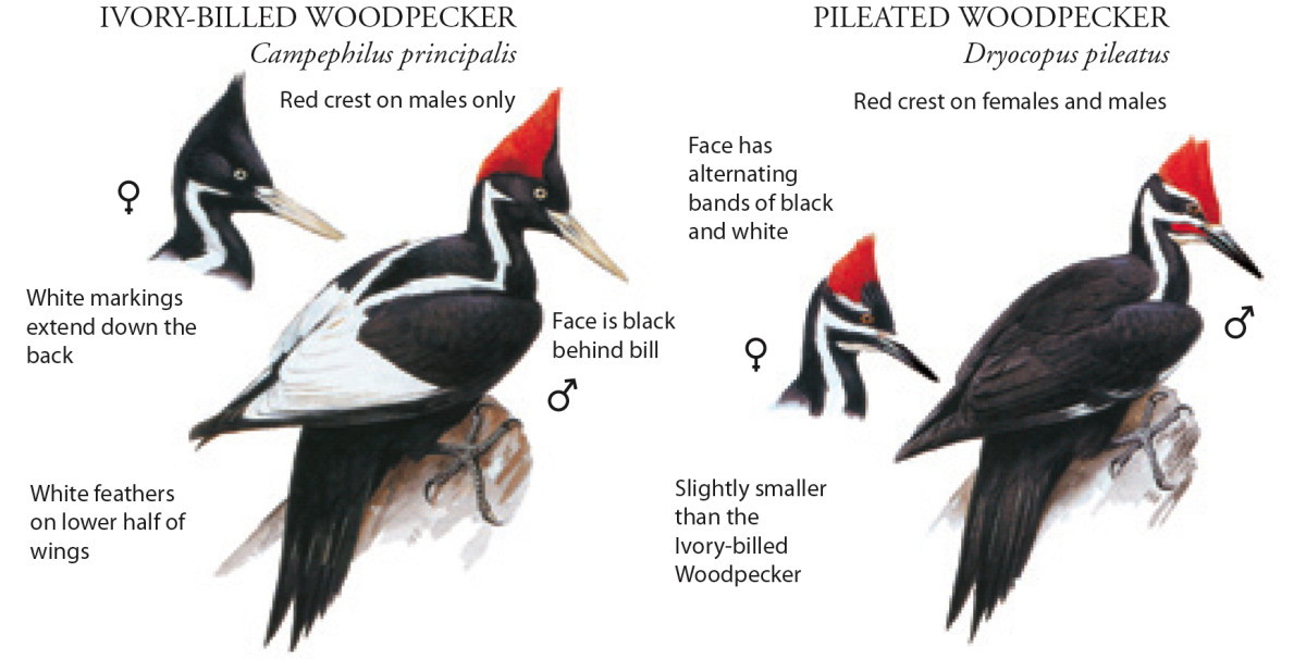 Side by side comparison of the Pileated and Ivory-billed Woodpeckers
