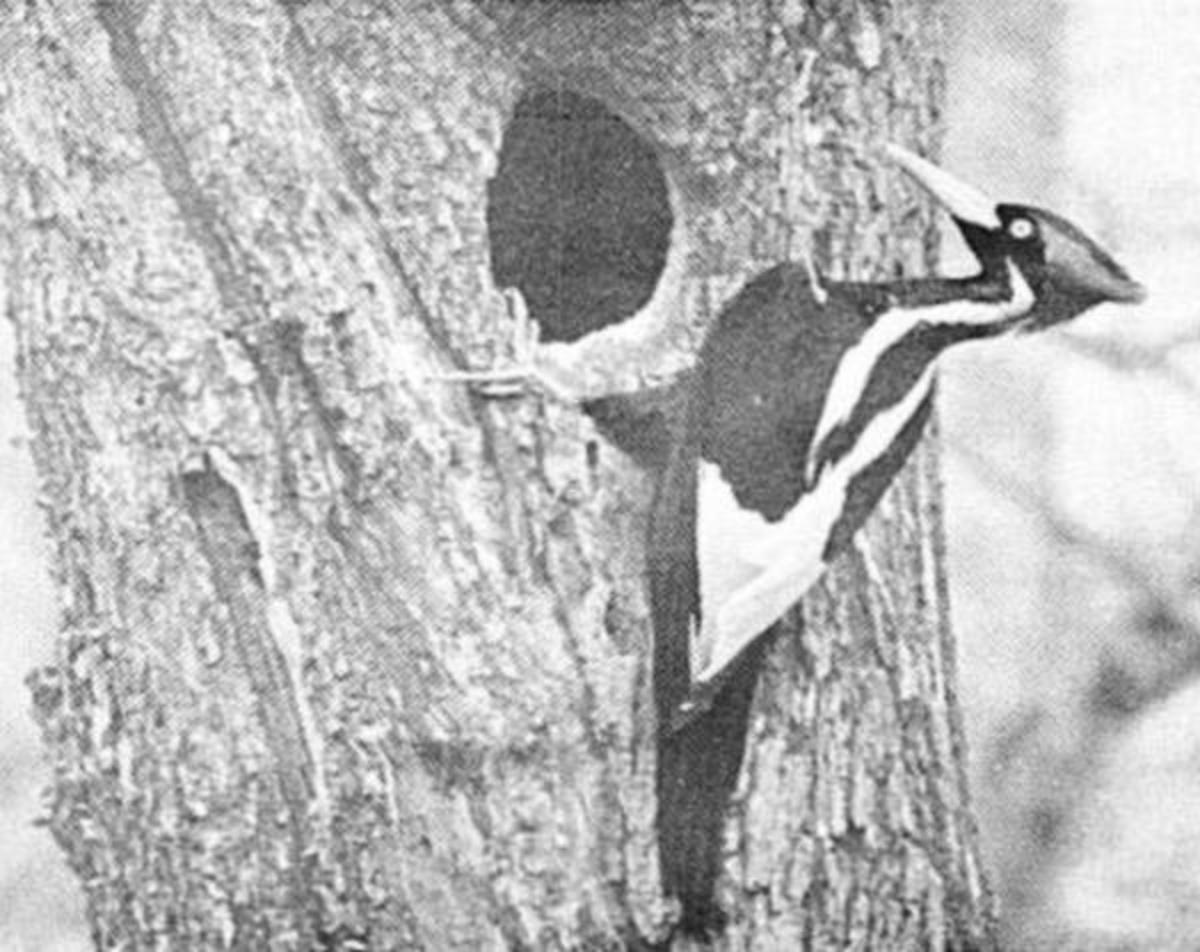 Male Ivory-Bill at entrance of nest. Photo taken in Singer Tract, Louisiana by Arthur A. Allen (April 1935). From recent observations of the Ivory-Billed Woodpecker (Auk) Volume 54, Number 2, April, 1937.