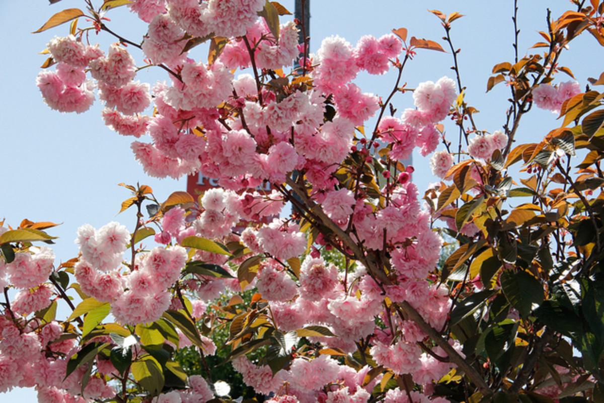 Nihonmachi cherry blossom festival