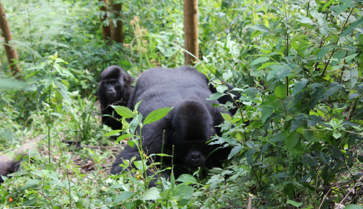 Gorillas at Bwindi Impenetrable Forest
