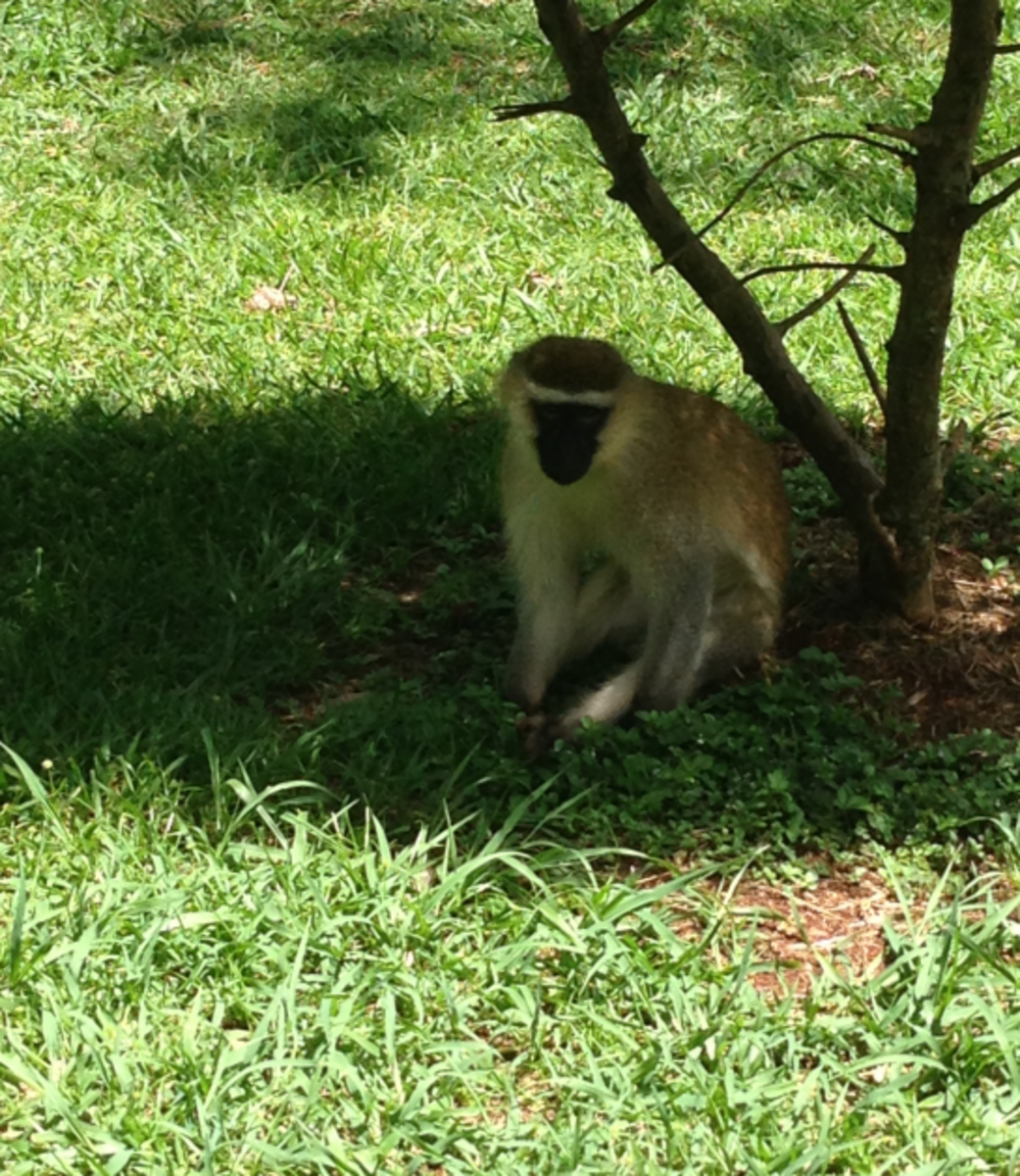 Monkeys can be spotted in many places