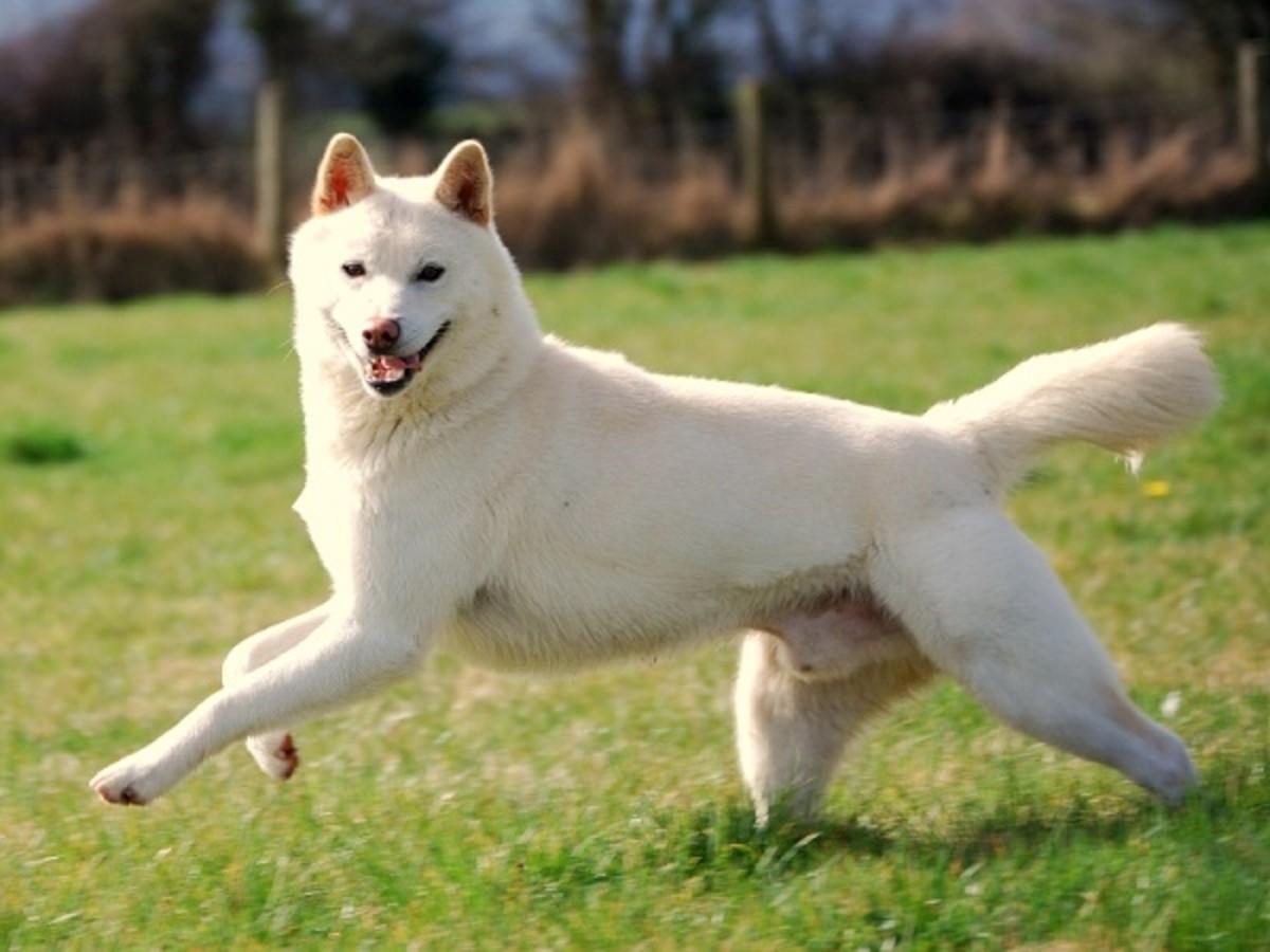 Japani Sansu Dog
